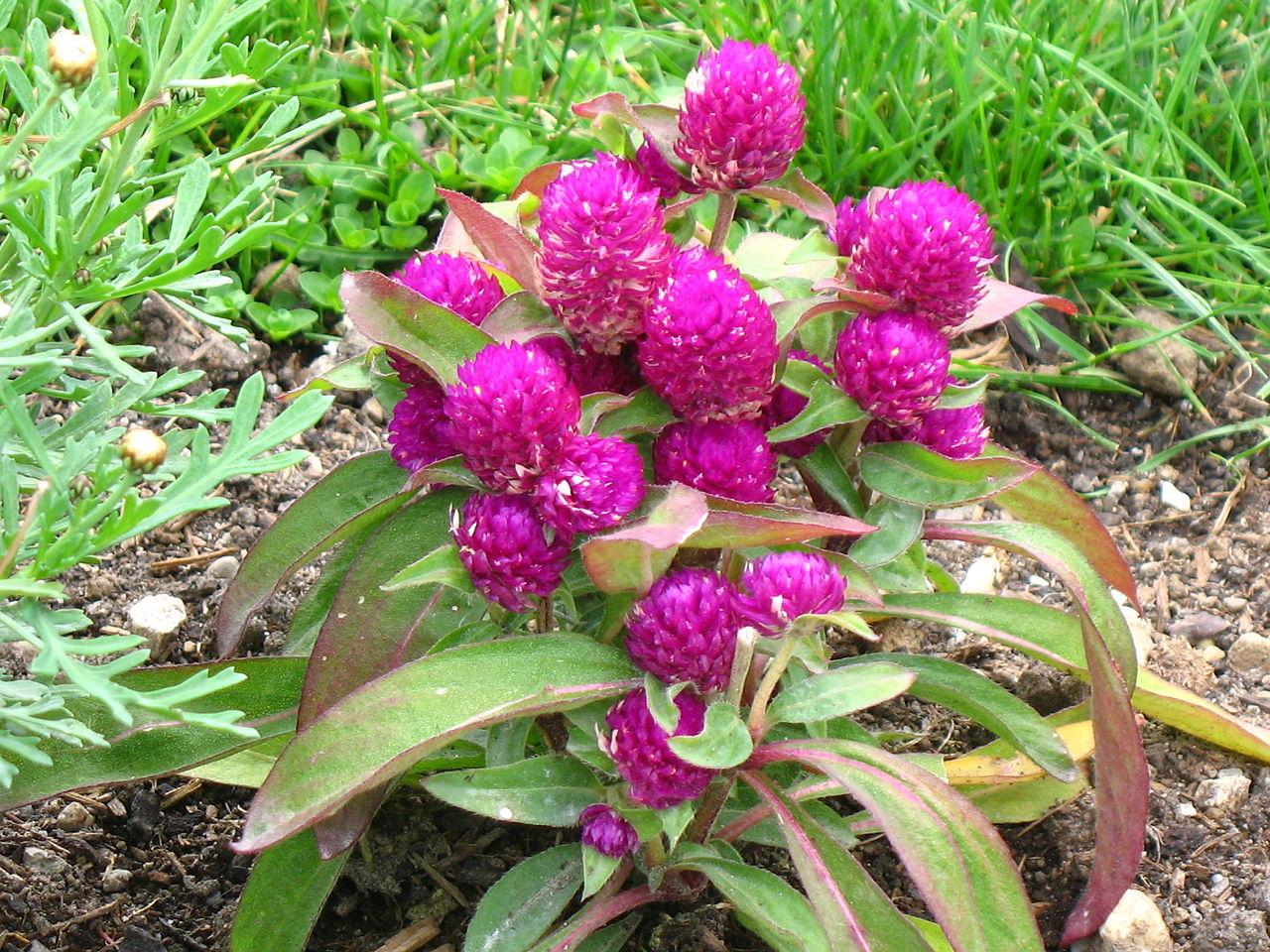 Гомфрена - редкий сухоцвет